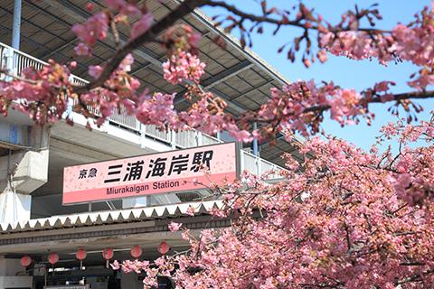 【三浦海岸】2月に咲く河津桜で桜まつり!ランチ・おやつ・ディナーも紹介!