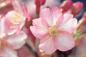 【伊豆】河津桜まつり2020で春気分!場所,見ごろ,食事はどこで?