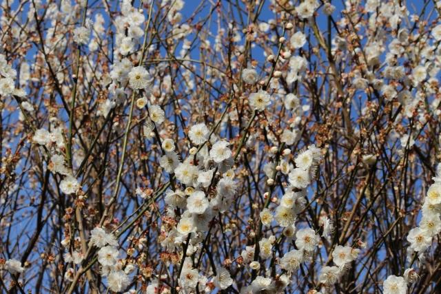 【東京】湯島天神の梅まつり2020。見どころとイベントをご紹介!
