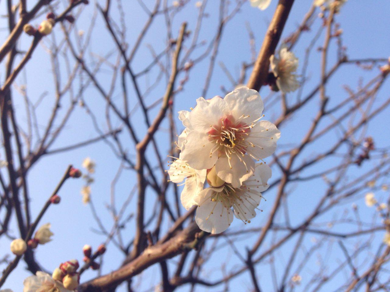 新宿御苑の桜の見頃は?お酒無しの健康的な花見!