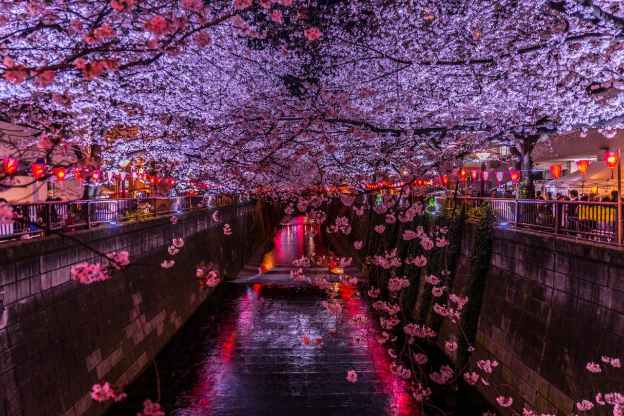 目黒川の桜の見所、お花見クルーズやライトアップをご紹介!