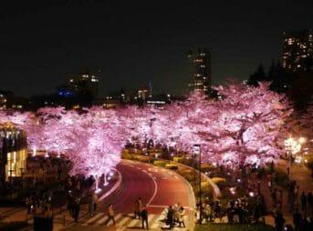 東京ミッドタウンの桜をレストランで【花粉症が花見】する方法は?