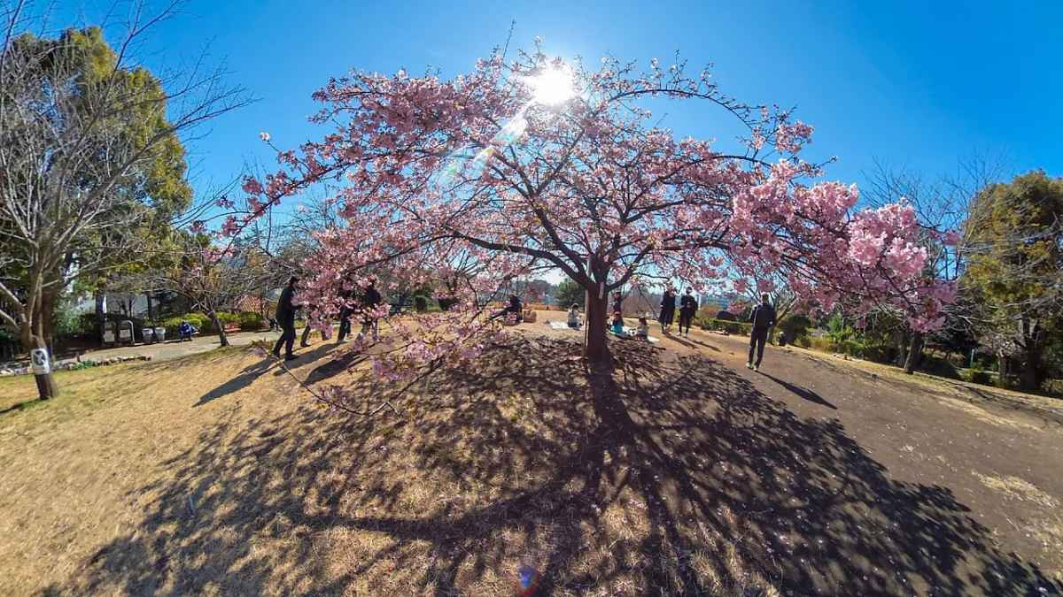 東京で河津桜を見に行こう!伊豆まで行かなくても楽しめますよ
